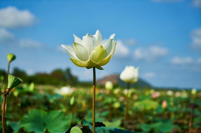 lotus-2436937_640