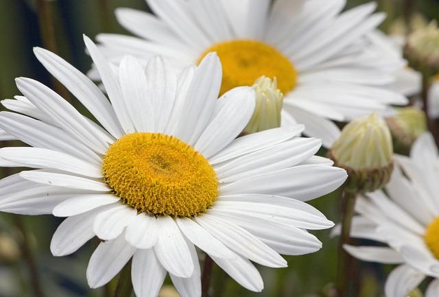 daisy-76191_640