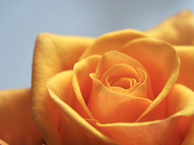 soul-yellow-rose